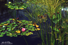 Pond Life (Hi-Fi Fotos) Tags: lily pond water grass flower garden aquascape wetland nature wispy strands plant life flora nikkor 40mm micro nikon d7200 dx hififotos hallewell green