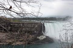 bird (SPNarwhal) Tags: niagarafalls waterfall bird tree nature