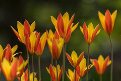 Tulips (mclcbooks) Tags: flower flowers floral tulip tulips spring bulbs denverbotanicgardens colorado