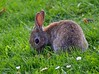 Wildkaninchen (anubishubi) Tags: rabbit kaninchen wildkaninchen säuger säugetier pentaxk100dsuper