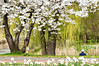 Prunus avium 'Plena'. Dubbele sierkers. 001. Kard. de Jongweg/Prof. Jordanlaan. (George Ino) Tags: copyright georgeino georgeinohotmailcom thenetherlandshollandnederland utrecht voorjaarspringfrühjahrprintempsprimavera lente flora plant kersenbloesem water canal kanaal passerby wandelaar strolling daffodil narcis footpath hanami sakura cherryblossom white wit