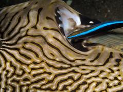 Puffer Cleaning (PacificKlaus) Tags: arothronmappa labroidesdimidatus mappuffer wrasse cleanerwrasse fish fishbehavior philippines negrosoriental dauin negrosisland scuba diving underwater ocean underwaterphotography salayabeachhouses