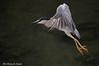 Nitticora _008 (Rolando CRINITI) Tags: nitticora uccelli uccello birds ornitologia genova canaledicalma natura