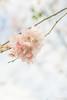 Spring! (WillemijnB) Tags: pink roze rose bloemen bloem p flower fleur flora spring voorjaar lente twente