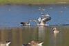Love Moves.... (Anirban Sinha 80) Tags: nikon d610 fx 500mm f4 ed vrii n g bokeh bird beak duck goose chasing kiss wetland water