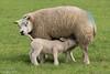 Dat is pas genieten in het voorjaar! (Jan Bogers) Tags: lente janbogers d800 2470 mouton schaap voorjaar spring printemps schapen sheep