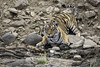 ready to drink (Tripping Along) Tags: tiger ranthambhorenationalpark wildlifephotography india