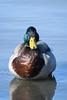 Mallard (mellting) Tags: eskilstuna nikond500 platser sigma1506005063sport vilsta bloggad flickr instagram matsellting mellting nikon sverige sweden gräsand mallard anasplatyrhynchos duck bird nature wildlife