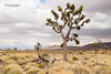 Joshua Tree Storm (Virginia Bailey Photography) Tags: joshuatree nationalpark california ca america