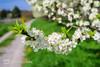 Kirschbaumblütenzweig (Markus Lenz) Tags: bildinhalt blüten bäume detail fotografie genre kirschbaumblüte kirschblüte kirsche nahaufnahme obstbäume pflanze pflanzen pflanzenfotografie cherry blossom