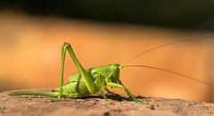 The green warrior. (Gergely_Kiss) Tags: tettigoniaviridissima hungaryfauna macroshot greengrasshopper grasshopper insectmacro greenbushcricket zöldlombszöcske