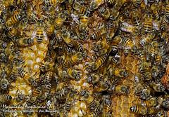 Apis mellifera (Linnaeus, 1758) (Marquinhos Aventureiro) Tags: wildlife vida selvagem natureza floresta brasil brazil hx400 marquinhos aventureiro marquinhosaventureiro abelha bee colmeia europa adventure nature apidae