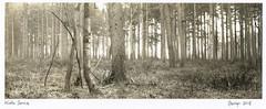 Winter sunrise (carwyn2) Tags: grovely wiltshire woods wilton shen hao 4x10 300mm nikkor ilford fp4 pyrocat contact print darkroom largeformat lodima landscape bw
