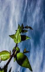HERE I AM (laura-melisande-gross90@web.de) Tags: sky plants nature green canon leaves ibiza