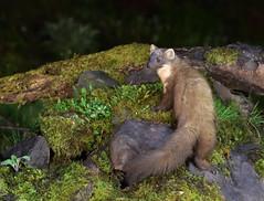 Pine Marten (KHR Images) Tags: pinemarten martesmartes baummarten pineten sweetmarten wild carnivorous mammal mustelid nocturnal wildlife nature scotland nikon d500 kevinrobson khrimages