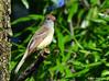 Great Crested Flycatcher, John Heinz Wildlife Refuge (alan jackman) Tags: johnheinzwildliferefuge refuge nature bird philadelphia pennsylvania alanjackman jackmanonjazz nikon tamron d7000 150600mm