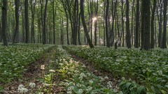 *Morgensonne im Bärlauchwald* (Albert Wirtz @ Landscape and Nature Photography) Tags: ramsons wildgarlic bearsgarlic natur nature natura landscape landschaft paesaggi paysagens albertwirtz eifel nordeifel kalkeifel eifelsteig schöneckerschweiz bärlauch morgensonneimbärlauchwald forest tree earth paph deutschland allemagne germany rheinlandpfalz rhinelandpalatinate filter grauverlauffilter haidand09softverlauffilter spring frühling wandern hiking trail vulkaneifel nikon d810 wood sunstar sonnenstern gegenlicht backlight morningmood morgenstimmung grün green primavera langzeitbelichtung longexposure schönecken beechforest buchenwald thewanderlust