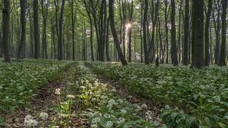 *Morgensonne im Bärlauchwald*