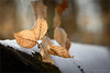 leaves in the winter sun (klaus.huppertz) Tags: neipperg leaf leaves blatt blätter laub winter nikon nikond750 d750 tamron natur nature outdoor wald forest schnee snow tamron70200