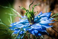 blue beauty (-Michal Slezak-) Tags: tamron 90mm macro fixedfocal fullframe fx nature nikon closeup wildelife wilderness flower d610 primelens przyroda macrodreams