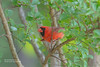 Cardinal_4H4A4891 (bud_marschner) Tags: cardinal inmansouthcarolina