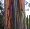 Rainbow Eucalyptus (Eucalyptus deglupta) (fuzzballmaster) Tags: costa rica san jose la sabana