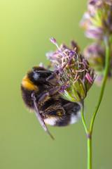 Abejorro (@pabloralonso) Tags: vivitar90macro macro macrofotografia vivitar90mm28macro pentax bugs insectos asturias