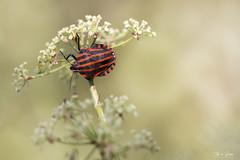 Pyjamawants (Thijs de Bruin) Tags: beetle pyamawants gevangeniswants punaise arlequin striped shield bug black red macro