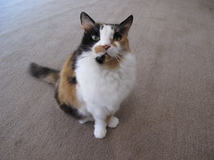 Hana: Loving Stare (Tabo Kishimoto) Tags: hana car gato neko katzen chat canong10 g10 canon