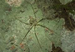 3 x Tamopsis tweedensis (dustaway) Tags: arthropoda arachnida araneae araneomorphae hersiliidae tamopsis longspinneretbarkspider australianspiders victoriaparknaturereserve lichenmimic alstonvilleplateau dalwood northernrivers nsw nature australia