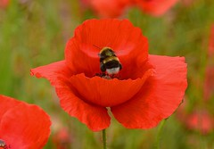 Poppies & a busy Bee. crop. 01 06 2018 (pnb511) Tags: red poppies wildflowers field barley green blue sky trees rural suffolk farming agriculture bee insect pollinator