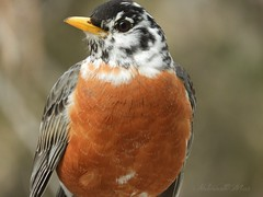American Robin (NaturewithMar) Tags: american robin bird leucistic wisconsin ngc