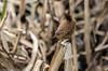 9Q6A9661 (2) (Alinbidford) Tags: alancurtis alinbidford brandonmarsh nature wildbirds wildlife wren