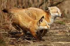 Running Red Fox Kits – Anticipation Gets the Shot (Bryan Carnathan) Tags: fox redfox red kit kits predator animal mammal baby babies outdoor outdoors photography photographer nature itsinmynature wildlife natgeo de delaware spring canon myrrs reallyrightstuff rrs ngc