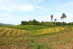 Rice Terraces of Candijay (Voyage Photography) Tags: rice ricefield terraces riceterraces riceterracesofbohol ricebohol touristspot touristdestination bohol travebohol seebohol explorebohol candijay candijaybohol candijayriceterraces green greenfield greens rows canoneos70d eos70d canonphotography canon70d landscape relaxing hot noon hotsky hotday agricultural nature manmade beautifulnature riceisfood rices asia philippines riceasia ricephilippines riceofbohol boholtravel boholtourist boholdestination destination photography touristphotography touristattraction attractiontourist attractionbohol boholattraction boholsite touristsite attractionsite order organized hill hills slopes slope planted plants beholdbohol boholtour tourbohol itsmorefuninthephilippines itsmorefuninbohol boholphilippines travel travelphotography travelcanon travelbohol explore