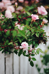 still time for spring, part four (manyfires) Tags: film analog flowers floral floralscape spring blossom bloom oregon pacificnorthwest pnw 35mm nikonf100 fence roses backyard bokeh city town neighborhood