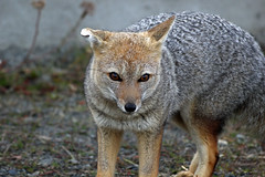 8. Patagonian Grey Fox (Lycalopex griseus), Border Crossing Chile To Argentina At Cerro Castillo, Southern Patagonia (Jay Ramji's Travels) Tags: patagoniangreyfox lycalopexgriseus cerrocastillo patagonia chilla lycalopex southamericangrayfox grayzorro canidae carnivora argentina zorrogris