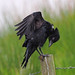 carrion crow (Explore) (DODO 1959) Tags: wildlife nature avian birds animal fauna carrioncrow wetlands wales carmarthenshire llanelli wwt perch olympus omdem1mk2 300mmf4 micro43 x14 outdoor