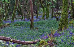 Bluebells, Devils Glenn (sineid2009) Tags: bluebells wicklow forests