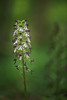 Ophrys purpurea (Denis-et-Alain-nature) Tags: orchidée orchidéessauvages flowers nikond810 nikkor105mmefsmicro f28 nature naturesauvage natureperfection forêt photographienature naturephotography photography photographenature reflex62 deniscoeurreflex62 deniscoeurphotographe62