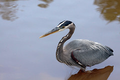 Coming through (John's Love of Nature) Tags: greatblueheron ardeaherodias johnkelley johnsloveofnature