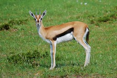 Young Thomson's Gazelle (M) (Eudorcas thomsonii) (Susan Roehl) Tags: kenya2015 masaimaranationalreserve kenya eastafrica thomsonsgazelle eudorcasthomsonii tommie male mostcommongazellesineastafrica smallerthangrantsgaszelle darksidestripeandtail whitepatchonrump reliantonwater openplains grasslands southernkenya northerntanzania sueroehl photographictours naturalexposures panasonic lumixdmcgh4 handheld cropped takenfromjeep grass animal mammal field gazelle coth5 ngc npc