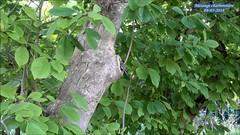 Mésange charbonnière Parus major (Ezzo33) Tags: france gironde nouvelleaquitaine bordeaux ezzo33 nammour ezzat sony rx10m3 parc jardin oiseau oiseaux bird birds specanimal mésange charbonnière parus major