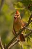 Northern Cardinal (Steve Gilchrist) Tags: northern cardinal northerncardinal bird female spring