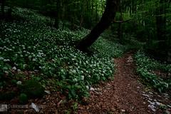 Nel giardino dell'orsino (EmozionInUnClick - l'Avventuriero photographer) Tags: aglioorsino fiori montecucco primavera sentiero valleriofreddo sonya7riii tracieloeterra