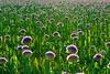 Crowded (peeteninge) Tags: allium flowers crowded flora nature bloemen natuur fujifilmxt2 fujifilm xf80mmf28 flowerfield bollenveld