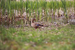 gotta watch your back (mihxiii) Tags: duck gottawatchyourback 50mm f18 nature animals bird grass