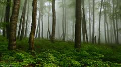 Daydreaming (Hector Prada) Tags: forest fog spring light trees nature enchanted creepy leaves misterious bosque niebla primavera lights árbol naturaleza encantado misterioso hojas basquecountry