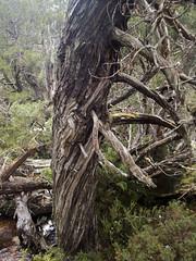 An ancient Pencil Pine, Athrotaxis cupressoides (Baractus) Tags: john oates rodney creek snake hill national park cradle mountain np tasmania australia pencil pines smooth tasmanian cedar athrotaxis cupressoides inala nature tours