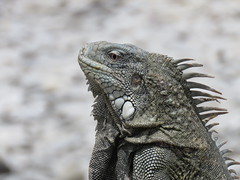 Bonaire 2018 (Valerie Hukalo) Tags: washingtonslagbaainationalpark bonaire paysbas caraïbes antilles nature hukalo valériehukalo iguane iguana reptile